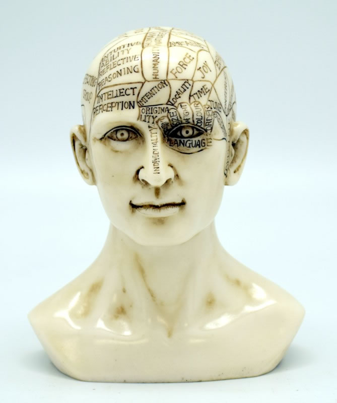 Medium Phrenology Skull